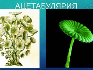 АЦЕТАБУЛЯРИЯ Стебелёк водоросли ацетабулярии достигает в длину 6 см, а шляпка
