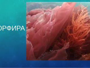 ПОРФИРА Слоевище может достигать в длину 2 м. из красных водорослей получают