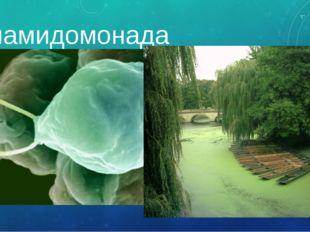 хламидомонада Летом можно увидеть зеленую пленку на воде – это явление называ