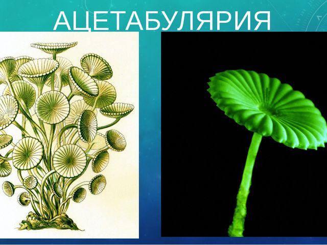 АЦЕТАБУЛЯРИЯ Стебелёк водоросли ацетабулярии достигает в длину 6 см, а шляпка...