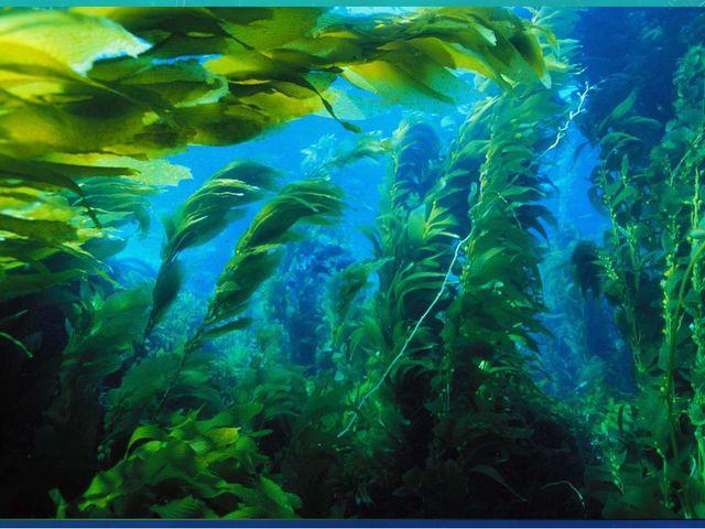 ЛАМИНАРИЯ Ламинария = морская капуста. В старину моряки на островах делали из...