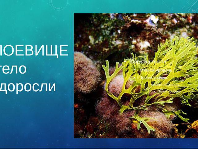 СЛОЕВИЩЕ – тело водоросли Тело водорослей похоже на пластинку. Оно называется...
