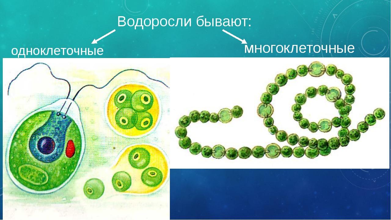 Водоросли бывают: одноклеточные многоклеточные Водоросли – очень древние орга...