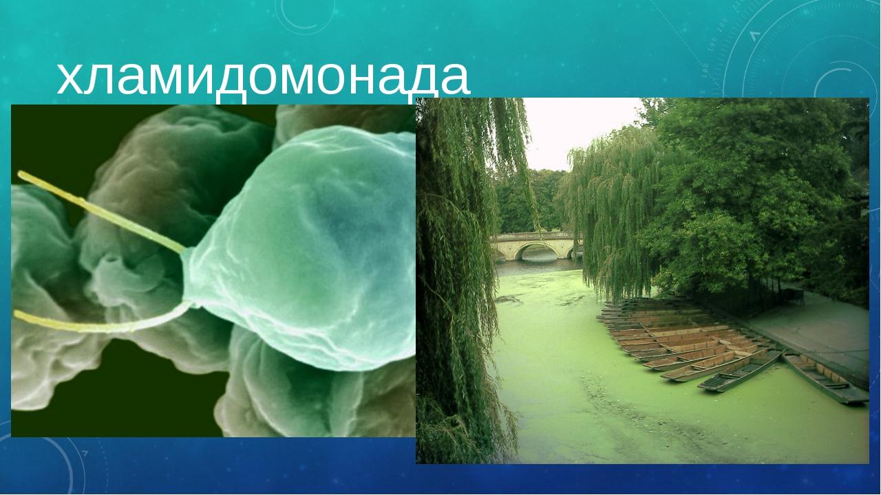 хламидомонада Летом можно увидеть зеленую пленку на воде – это явление называ...