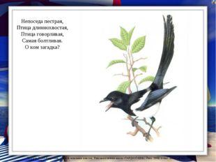 Непоседа пестрая, Птица длиннохвостая, Птица говорливая, Самая болтливая. О к
