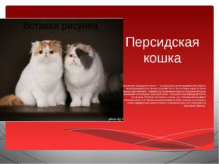 Персидская кошка Современные персидские кошки — это результат целенаправленно