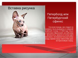Петерболд или Петербургский сфинкс Эта юная порода, как следует из названия,