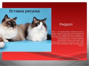 Рэгдолл Рэгдолл — это порода крупных домашних кошек с голубыми глазами и длин