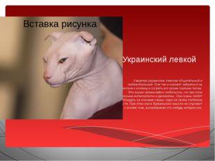 Украинский левкой Характер украинских левкоев общительный и любвеобильный. Он