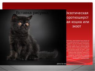 Экзотическая короткошерстная кошка или экзот Характер у короткошерстных экзот