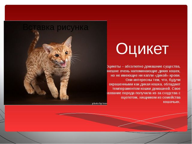 Оцикет Оцикеты – абсолютно домашние существа, внешне очень напоминающие диких...