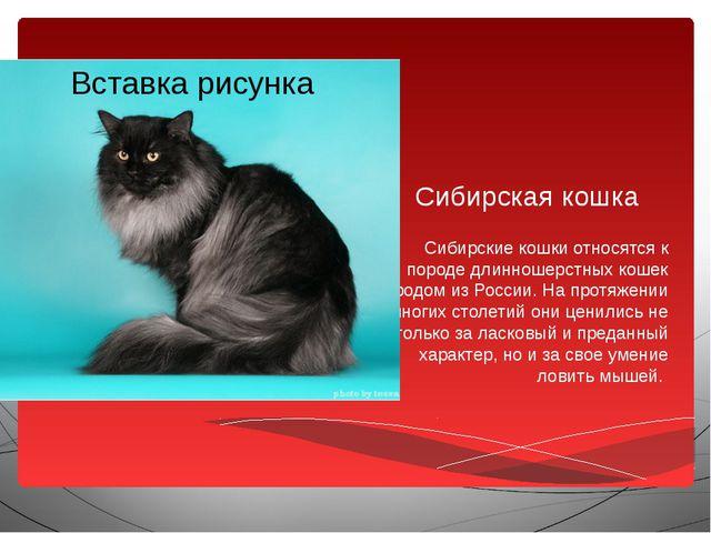 Сибирская кошка Сибирские кошки относятся к породе длинношерстных кошек родом...