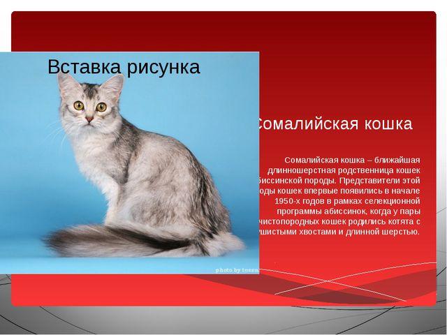 Сомалийская кошка Сомалийская кошка – ближайшая длинношерстная родственница к...