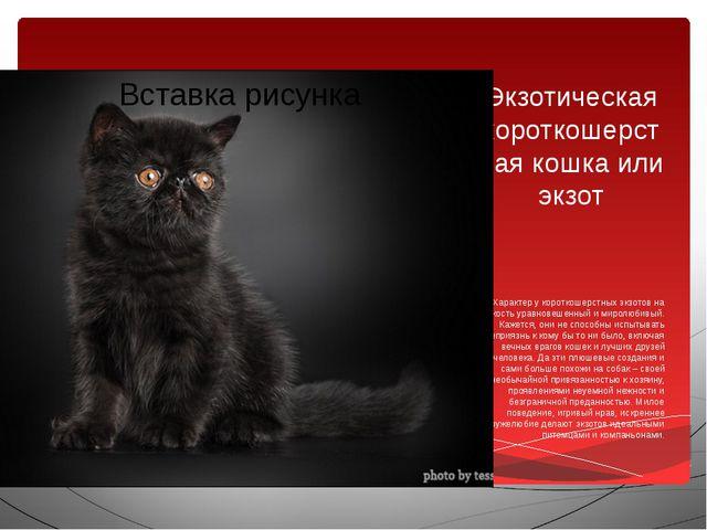 Экзотическая короткошерстная кошка или экзот Характер у короткошерстных экзот...