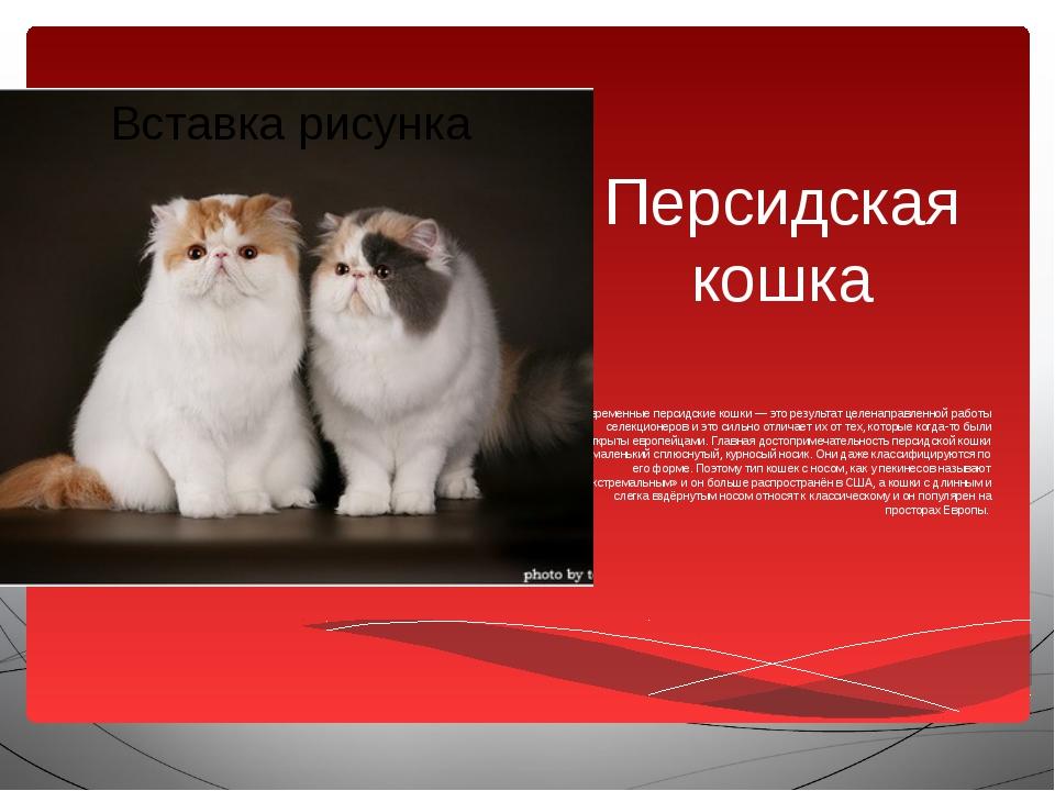 Персидская кошка Современные персидские кошки — это результат целенаправленно...