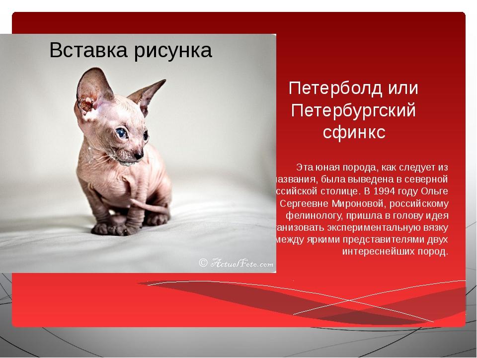Петерболд или Петербургский сфинкс Эта юная порода, как следует из названия,...