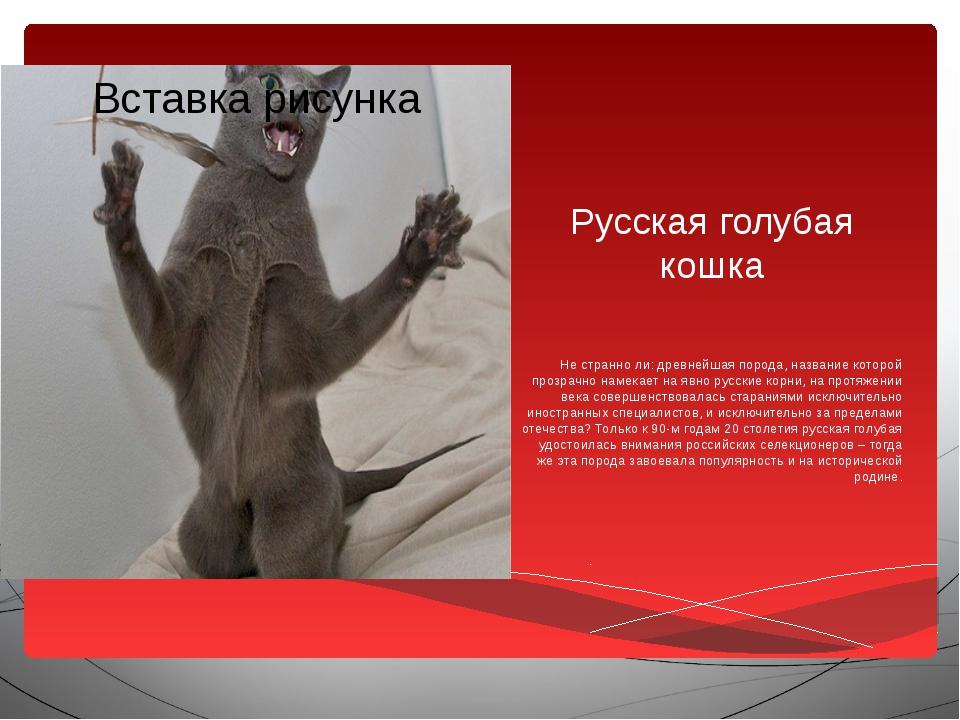 Русская голубая кошка Не странно ли: древнейшая порода, название которой проз...