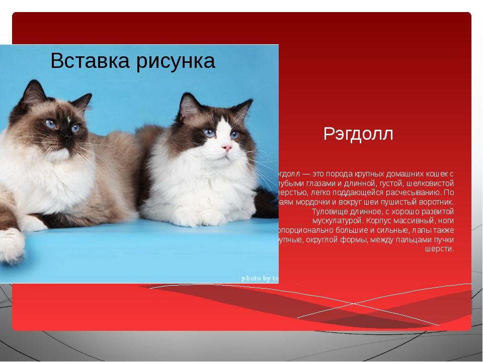 Рэгдолл Рэгдолл — это порода крупных домашних кошек с голубыми глазами и длин...