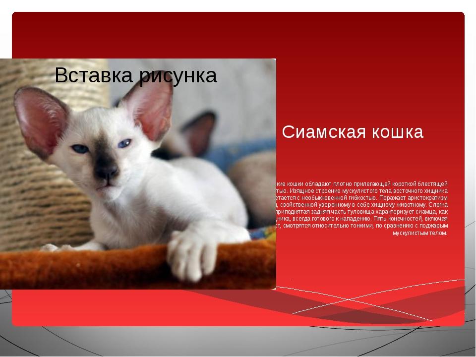 Сиамская кошка Сиамские кошки обладают плотно прилегающей короткой блестящей...