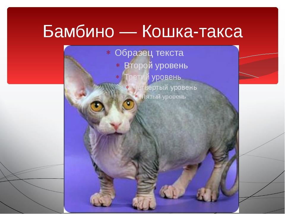 Бамбино — Кошка-такса