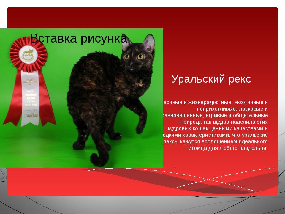 Уральский рекс Красивые и жизнерадостные, экзотичные и неприхотливые, ласковы...