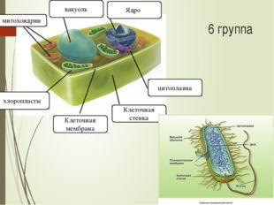 митохондрии вакуоль Ядро цитоплазма Клеточная стенка Клеточная мембрана хлоро