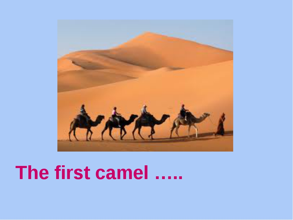 The first camel …..