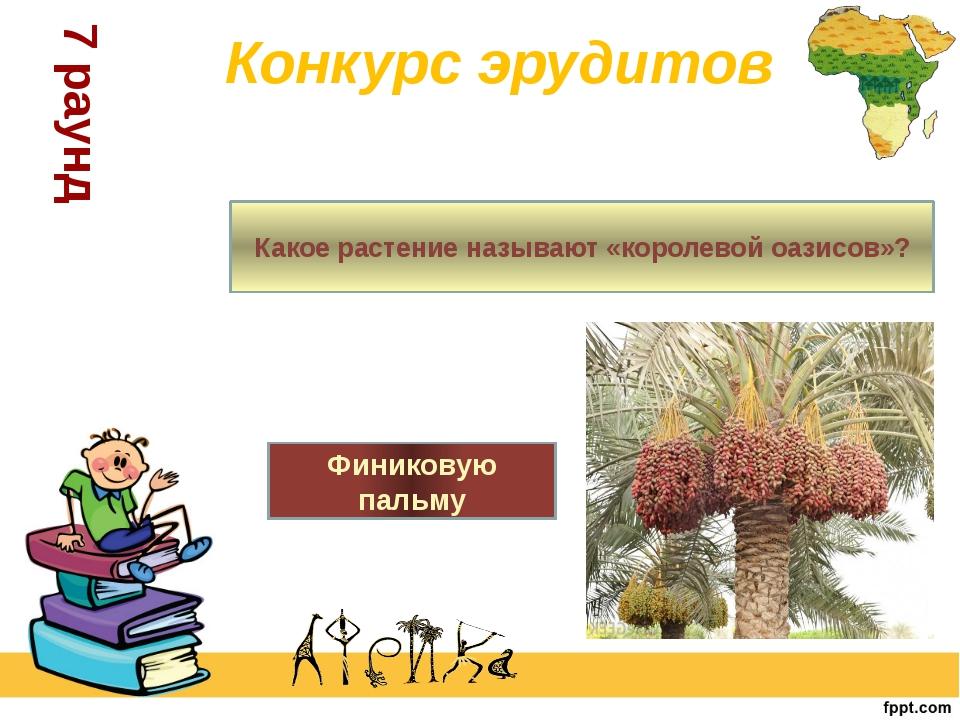 7 раунд Конкурс эрудитов Какое растение называют «королевой оазисов»? Финико...
