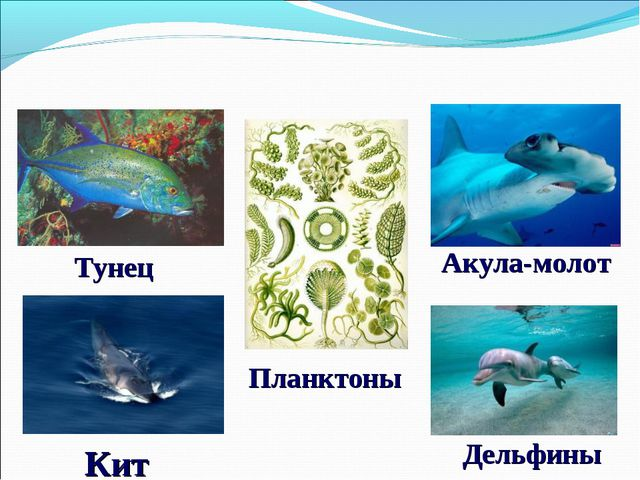 Дельфины Кит Акула-молот Планктоны Тунец