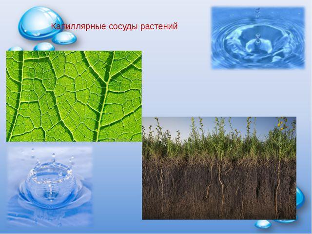 Капиллярные сосуды растений