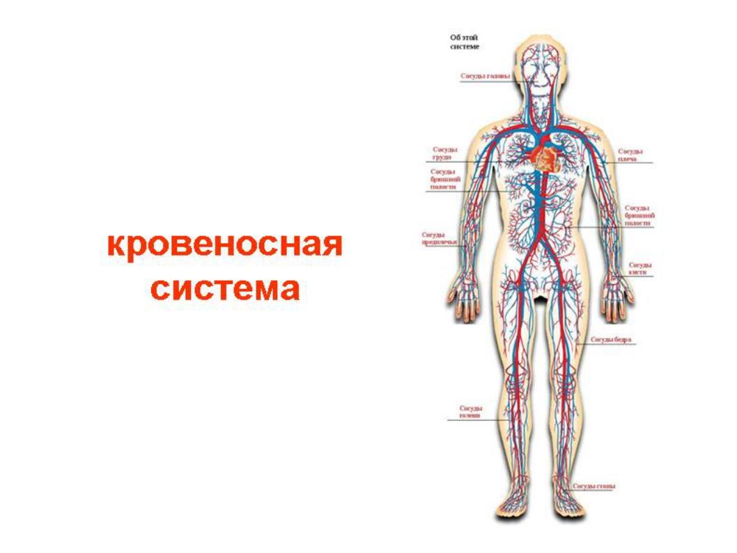 для схема кровеносной системы человека фото надо