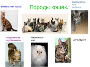 Породы кошек. Бенгальская кошка Аборигенная порода кошек Виверровый кот- рыбо