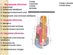 Схема строения стенки артерии Схема строения стенки вены Внутренняя оболочка