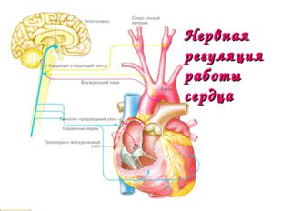 Нервная регуляция работы сердца