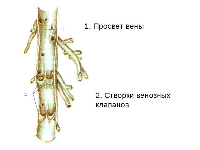 1. Просвет вены 2. Створки венозных клапанов