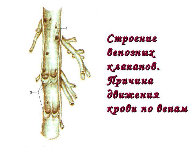 Строение венозных клапанов. Причина движения крови по венам