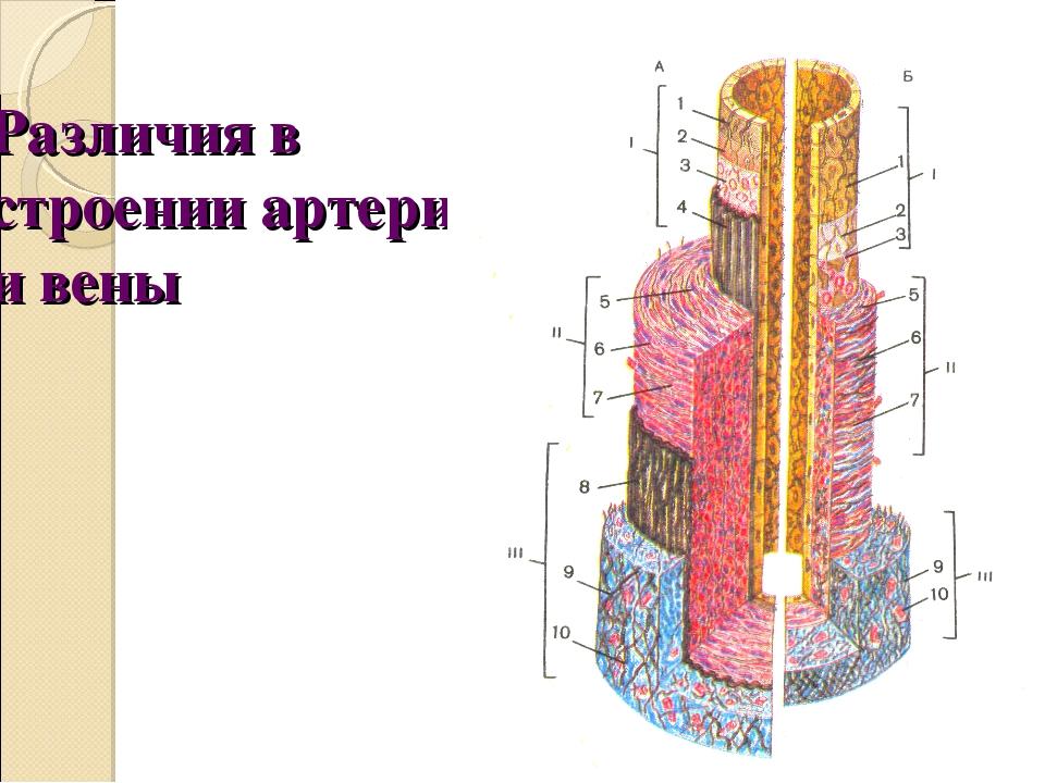 Различия в строении артерии и вены