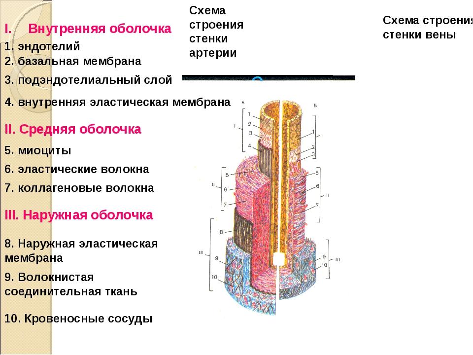 Схема строения стенки артерии Схема строения стенки вены Внутренняя оболочка...