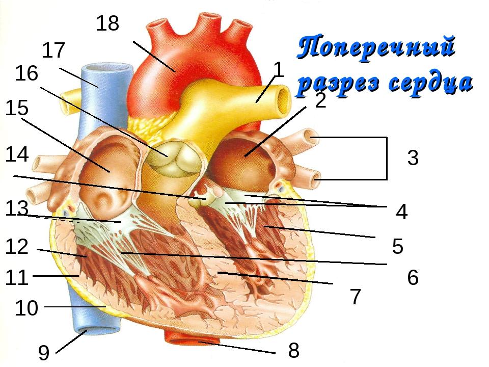 Поперечный разрез сердца 1 2 3 4 5 6 7 8 9 10 11 12 13 14 15 16 17 18