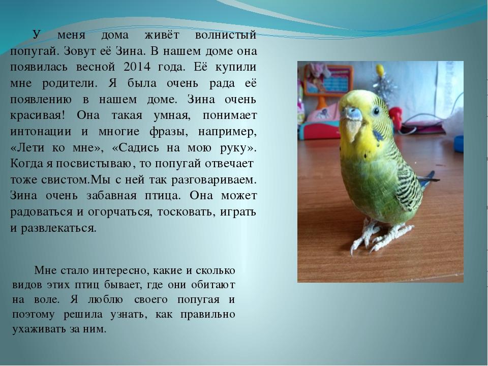 У меня дома живёт волнистый попугай. Зовут её Зина. В нашем доме она появил...
