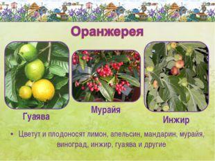 Цветут и плодоносят лимон, апельсин, мандарин, мурайя, виноград, инжир, гуаяв