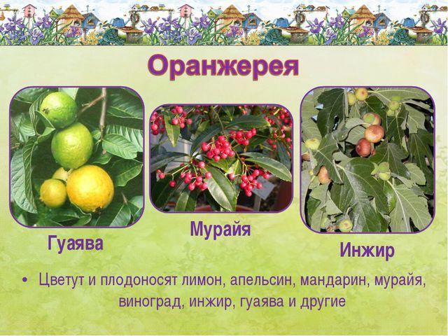 Цветут и плодоносят лимон, апельсин, мандарин, мурайя, виноград, инжир, гуаяв...