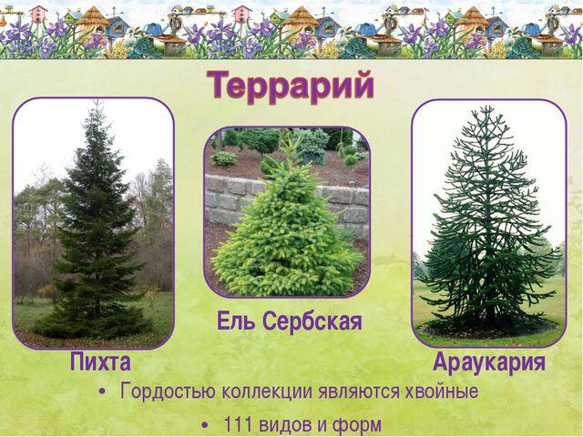Гордостью коллекции являются хвойные 111 видов и форм Ель Сербская Пихта Арау...