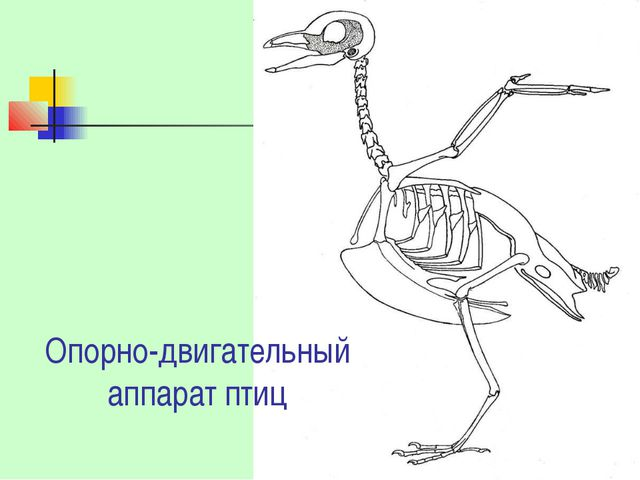 Опорно-двигательный аппарат птиц