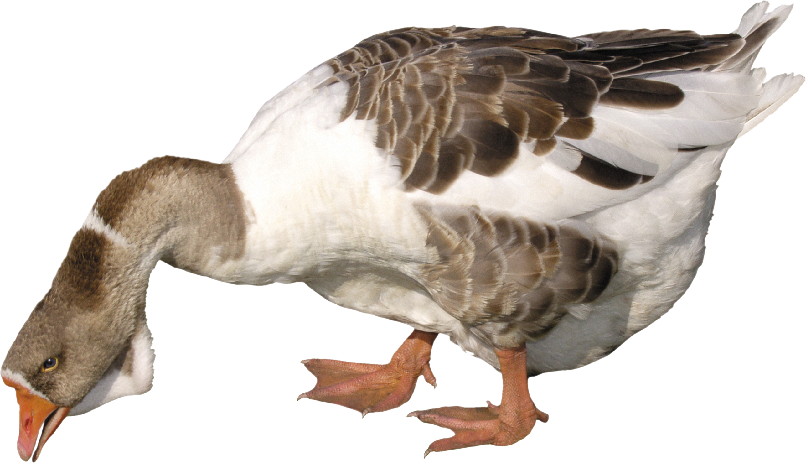 http://pngimg.com/upload/duck_PNG5035.png