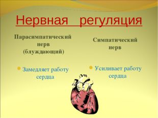 Нервная регуляция Парасимпатический нерв (блуждающий) Симпатический нерв Заме