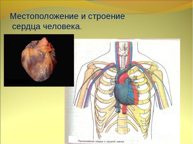 Местоположение и строение сердца человека.