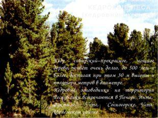 Кедр сибирский–прекрасное, мощное дерево, живет очень долго, до 500 лет и бол