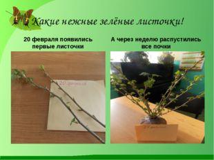 Какие нежные зелёные листочки! 20 февраля появились первые листочки А через н