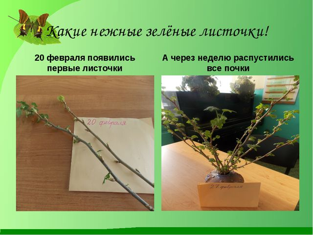 Какие нежные зелёные листочки! 20 февраля появились первые листочки А через н...